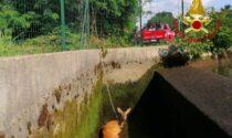 Capriolo caduto nel canale: i pompieri fanno deviare l'acqua per salvarlo