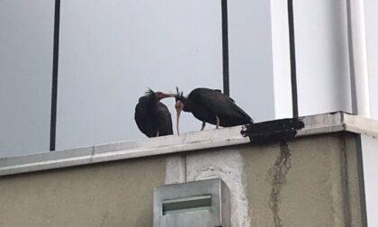 Tre ibis eremita avvistati all'aeroporto di Caselle: fanno parte di un progetto di reintroduzione in Europa