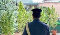 La droga e i Sette Nani così nascondeva la piantagione
