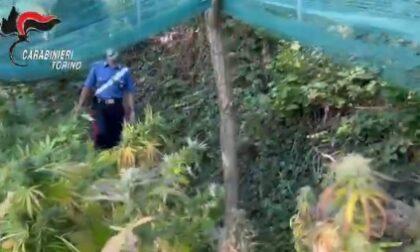 Piantagioni di marijuana in Canavese